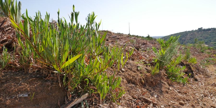 GREEN SAVERS | Novo projeto do GEOTA e de Monchique vai combater espécies invasoras